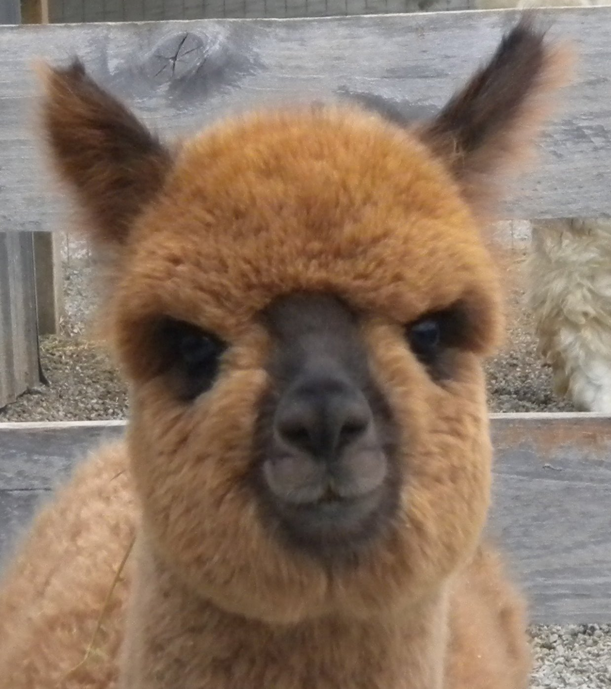Brown Huacaya Alpaca